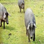 흑돼지,이베리코,돼지,스페인,대한,상황