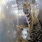 호랑이,러시아,아무르,사냥,밀렵꾼