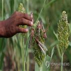아프리카,기후변화,곡물,지역,메뚜기떼,보고서