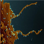 신종,혈뇌장벽,코로나,단백질,코로나바이러스,스파이크,내피세포,뇌혈관