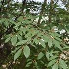망개나무,염증,물질