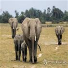 코끼리,나미비아,정부,동물,경매