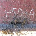 꿀벌,장수말벌,봉군,동물,재래종,입구
