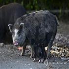 돼지,베트남,푸에르토리코,주민