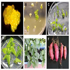 식물,생산,식물조직배양기술,식물체,대량,유용,환경,위해,배양,사용