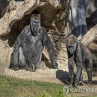 고릴라,동물원