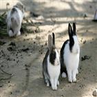 토끼,토끼섬,수술