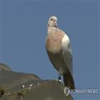 비둘기,호주,미국,버드,셀리