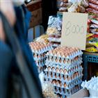 살처분,산란계,가격,계란,가금류,증가