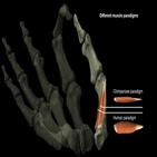인류,엄지손가락,화석,연구팀,사용,진화