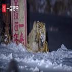 호랑이,중국,마을,영상