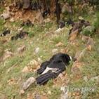 콘도르,볼리비아,조사,떼죽음,당국
