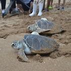 바다거북,푸른바다거북,베트남,해수부,방류,이동,인공증식