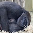 아기고릴라,동물원,베를린,고릴라,엄마