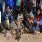 투계장,인도,다리,싸움닭