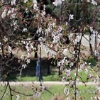 벚꽃,한산,날씨,울주군,관광객