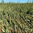 옥수수,중국,수입,관세,정부,가격,식품
