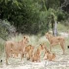 사자,사육,남아공,사냥,코뿔소,이번,보고서