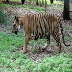 벵골호랑이,방글라데시,밀렵꾼
