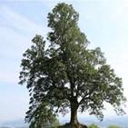 내장산,지정,나무,단풍나무,천연기념물,문화재청,정읍
