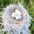 황새,둥지,러시아,인공,새끼,한카호,한국,확인,습지