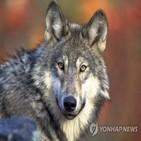 늑대,수렵,회색,연구팀,보호
