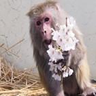 이소코,세계,붉은털원숭이